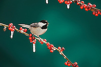 Carolina Chickadee, (Poecile carolinensis), adult on ice covered Possum Haw Holly (Ilex decidua) berries, New Braunfels, San Antonio, Hill Country, Central Texas, USA