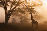 Kenya, Lake Nakuru National Park, Rothschild's giraffe in forest, morning fog, back light