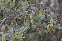 Seidenweide, Seiden-Weide, Seidenhaarige Weide, Salix glaucosericea, silky willow, Alpine grey willow, le saule glauque soyeux