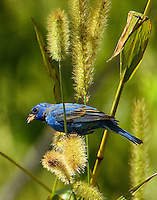 Adult male indigo bunting nearing breeding plumage in early April