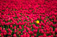 A single yellow tulip grows amongst a field of red tulips. Oregon.