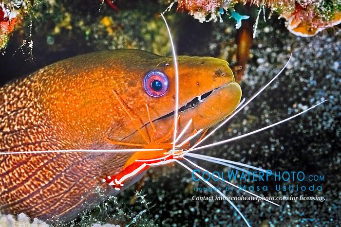 undulated moray eel, Gymnothorax undulatus, being cleaned by scarlet cleaner shrimp, Lysmata amboinensis, Kona Coast, Big Island, Hawaii, USA, Pacific Ocean