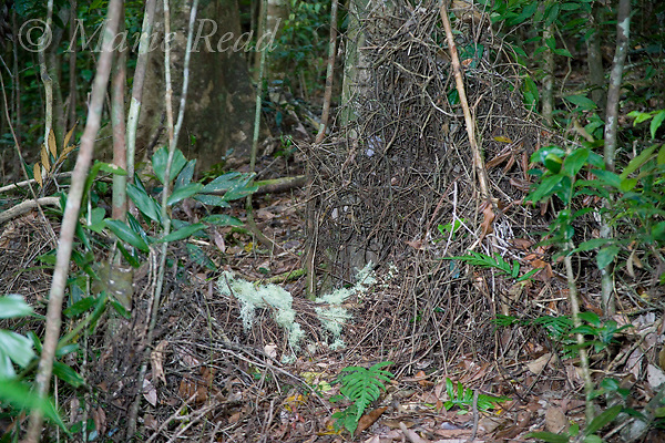 Golden Bowerbird (Prionodura newtoniana), overview of entire bower constructed of sticks around saplings, decorated with lichens, Atherton Tableland, Queensland, Australia.