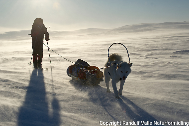 Mann og grønlandshund på vidda i Finnmark en vindfull vinterdag. ---- Man and greenland dog in Finnmark a winter day.