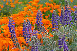 Lupine and CA poppies