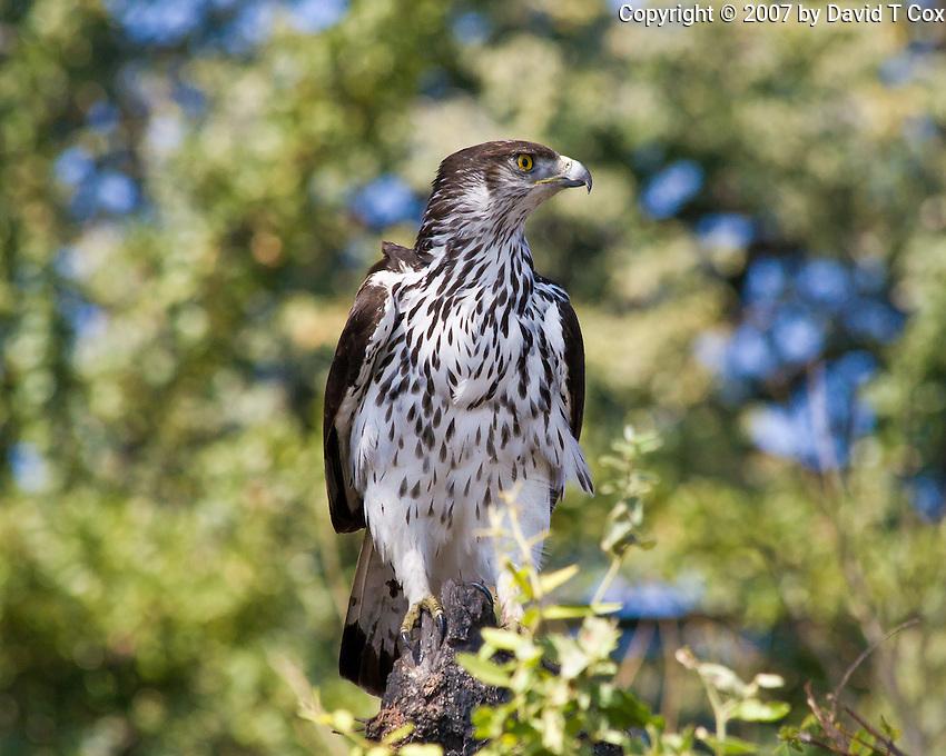 African Hawk Eagle, Chobe Riverfront, Botswana