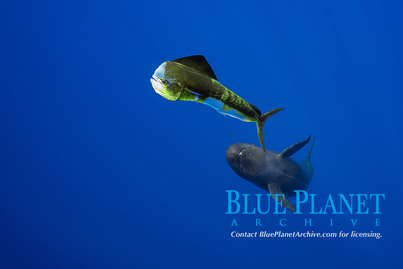 false killer whale, Pseudorca crassidens, hunting mahimahi, common dolphinfish, dorado, Coryphaena hippurus, Kaiwi Point, Kona Coast, Big Island, Hawaii, USA, Pacific Ocean