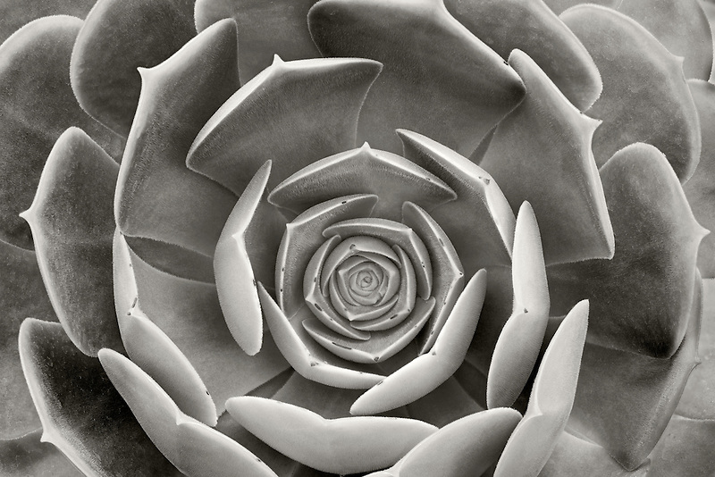 Close up of Aeonium urbicum v. rubra. Hughes Water Gardens, Oregon