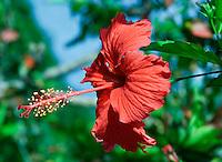 Seychelles: Hibiscus blossom (Hibiscus rosa-sinensis)