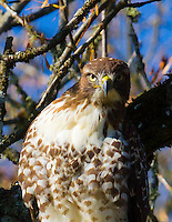 Gift card photo of a red-tailed hawk (Buteo jamaicensis) is in a tree staring directly at viewer in a high constrast photo with blue sky background through the trees.