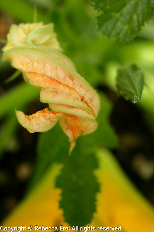Courgette flower graphic