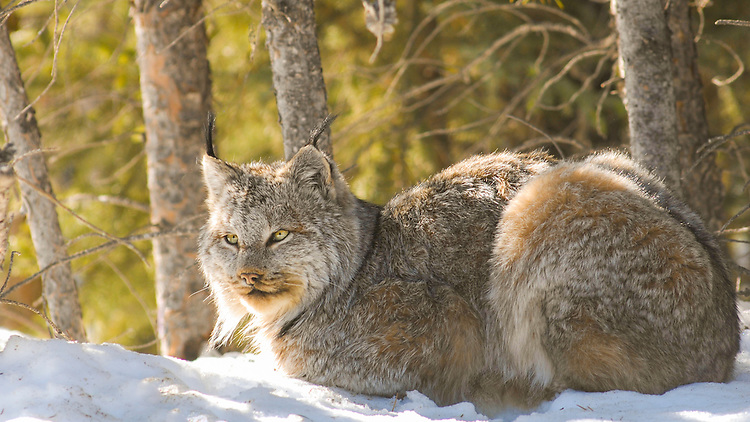 Canada Lynx, Riding Mountain National Park, Manitoba, Canada. Lynx resting in snow Riding Mountain National Park Manitoba, Canada. Canada Lynx laying in the snow, Riding Mountain National Park, Manitoba, Canada