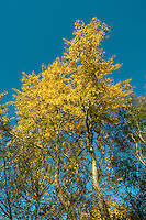 Aspen Populus tremulus Salicaceae Height to 18m. Slender tree with a rounded crown. Suckers readily. Bark Ridged and fissured with age. Leaves Rounded to oval, with shallow marginal teeth, palest below; rustle in the slightest breeze and turn golden in autumn. Reproductive parts Reddish male catkins and greenish female catkins on different trees. Status Common on poor, damp soils.