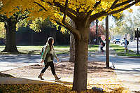 Fall gingkoes on Engineering Row.<br />  (photo by Megan Bean / &copy; Mississippi State University)