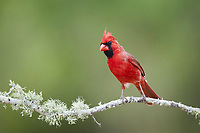 northern cardinal, Cardinalis cardinalis, adult male, perched on twig, Texas, USA, North America