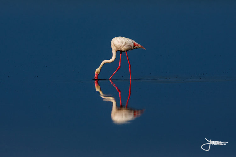 Greater Flamingo (or Rosy Flamingo) Phoenicopterus ruber, Phoenicopterus roseus, Större Flamingo, feeding in Lake Ndutu in morning light, Serengeti.