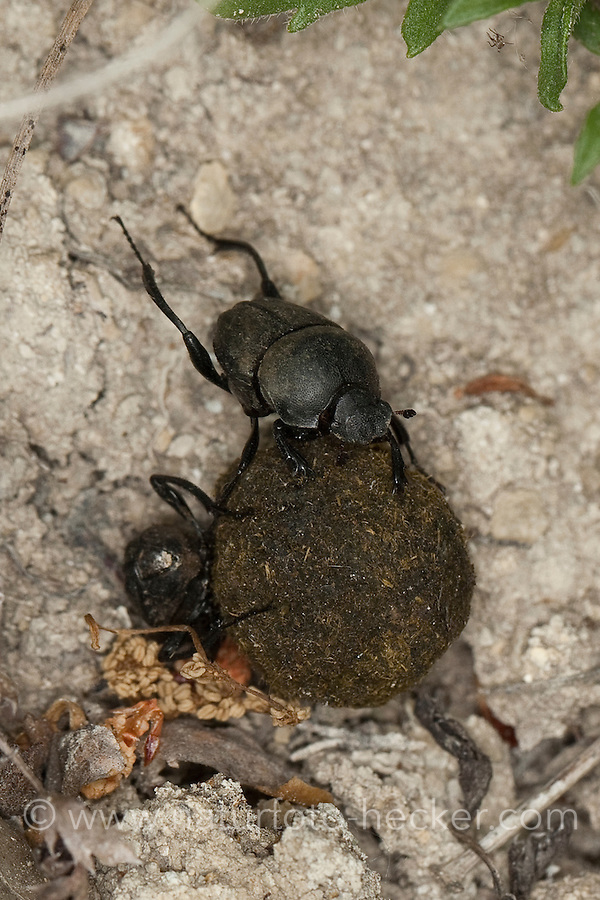 Matter Pillendreher, Matter Pillenwälzer, beim transportieren einer Kotpille, Sisyphus schaefferi, Sisyphus Beetle, Mistkäfer, ball-roller, scarab beetle