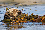 Sea Otter (Enhydra lutris) sleeping, while wrapped in kelp to keep itself from floating away, Santa Cruz, Monterey Bay, California