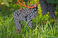 Pomerol vineyards - ripe grape bunches at La Conseillante, Bordeaux