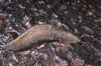 Ashy Grey Slug - Limax cinereoniger
