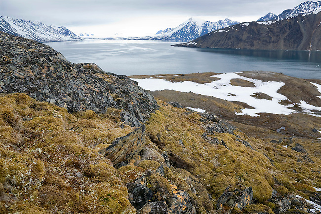 Moss covered tundra, lichen encrusted rocks and snow patches, Tinayre Bukta, Krossfjorden. Spitsbergen
