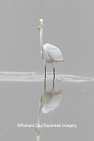 00688-02514 Great Egret (Ardea alba) feeding in wetland in fog, Marion Co., IL