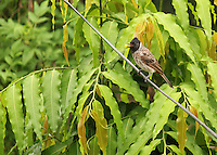 Bulbul sitting on a wire with a piece of food in its bill.