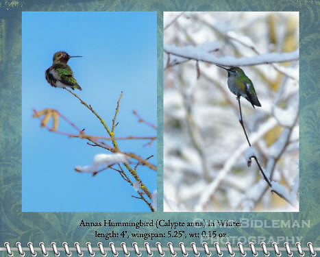 """December of the 2012 Birds of a Feather Calendar.  Photos are called """"Anna's Hummingbird in Winter"""" and """"Anna's Hummingbird on snowy branch"""" and show an Anna's Hummingbird sitting on end of snow covered tree branch in Winter with sun shining and blue sky all around."""