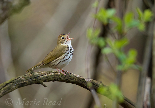 Ovenbird (Seiurus aurocapilla), male singing in spring, New York, USA