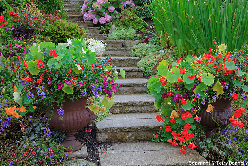 Vashon-Maury Island, WA<br /> Driscoll garden, flagstone stairway flanked by hillside beds and flowering decorative pots