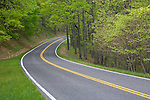 Shenandoah National Park, VA<br /> Skyline Drive curves into the spring hardwood forest