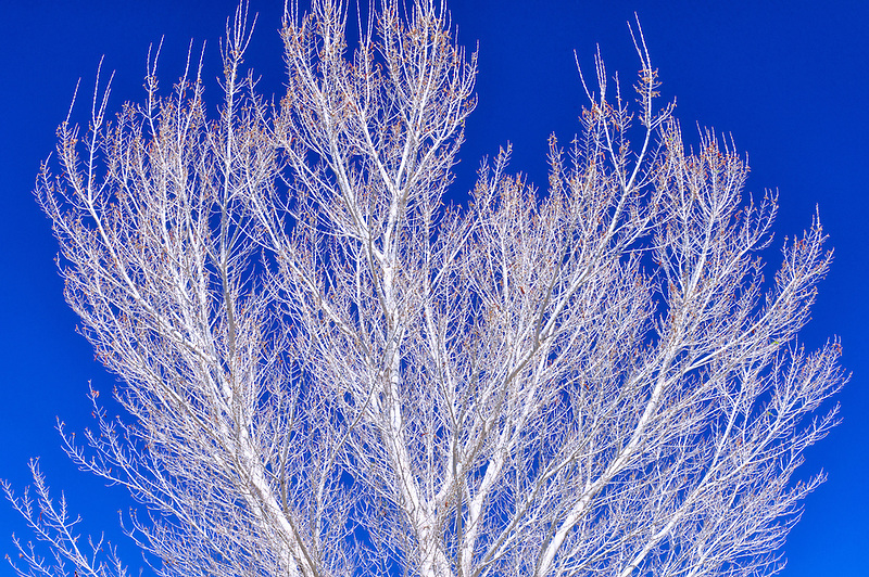 White bark of Cottonwood tree. White Water Preserve. California