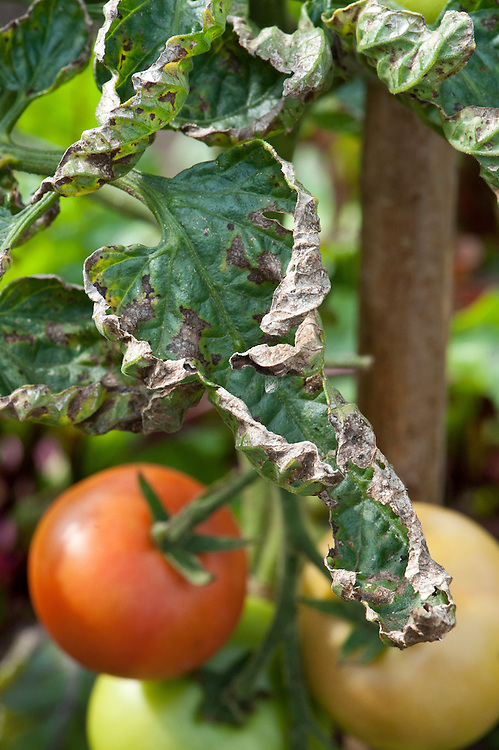 Brown, curled edges on the leaves of a tomato plant that is suffering from lack of water.