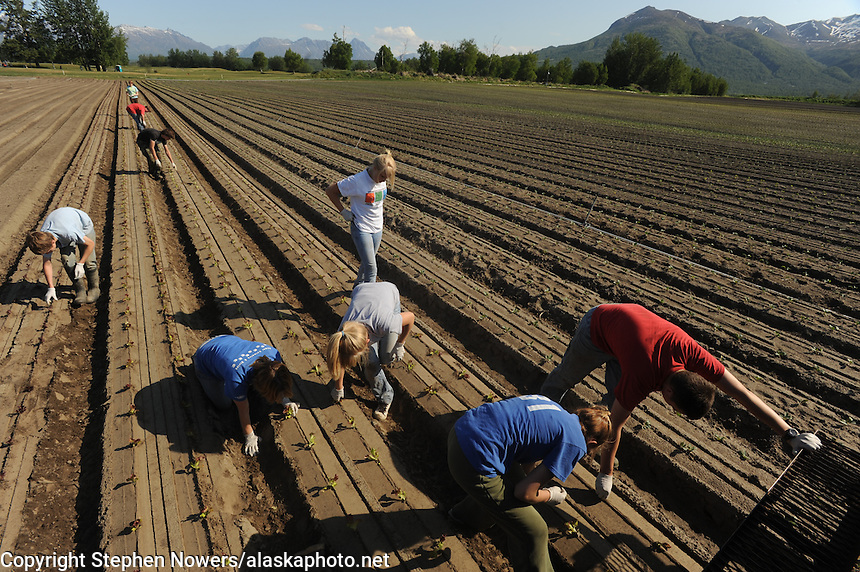 A Vanderweele Farm crew plants lettuce seedings near Palmer, Alaska.