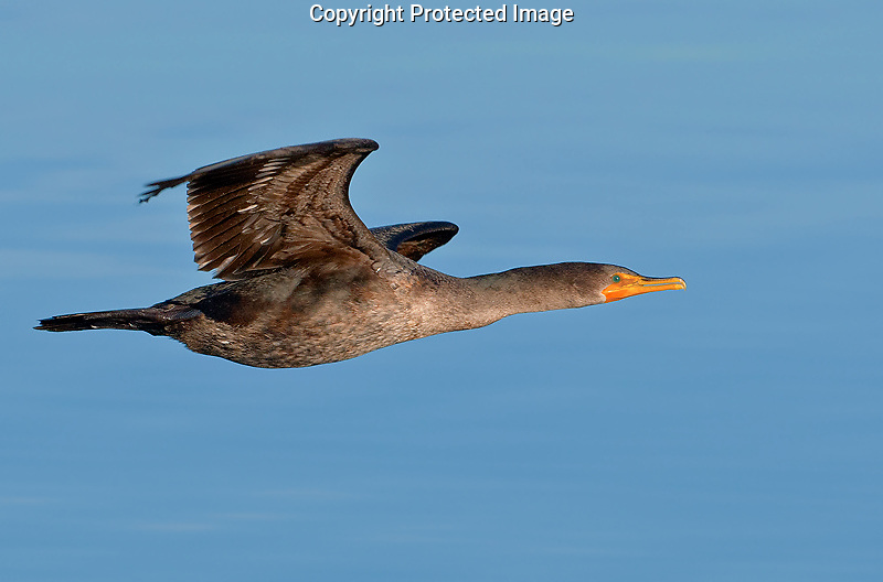 Double-crested cormorant (Phalacrocorax auritus) Juvenile in flight over the water in Drayton Harbor.<br /> Semiahmoo Resort near Blaine, Whatcom County, Washington State<br /> 1/16/2010