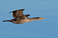 Double-crested cormorant (Phalacrocorax auritus) Juvenile in flight over the water in Drayton Harbor.<br />
