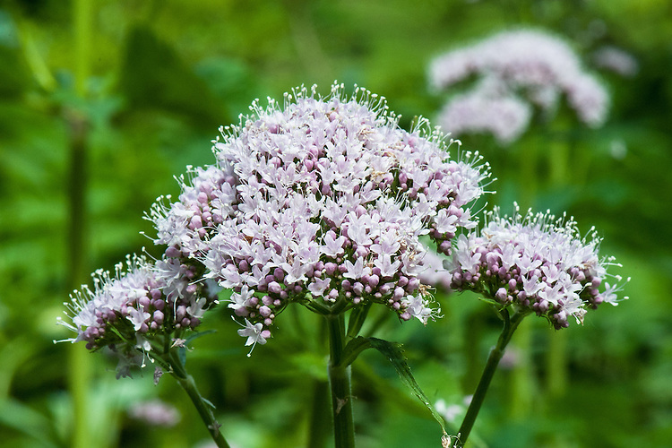 Valeriana pyreniaca (Pyrenean valerian), late May. A self-sowing, herbaceous perennial that produces pale pink-purple flowers above large, heart-shaped leaves in early summer.