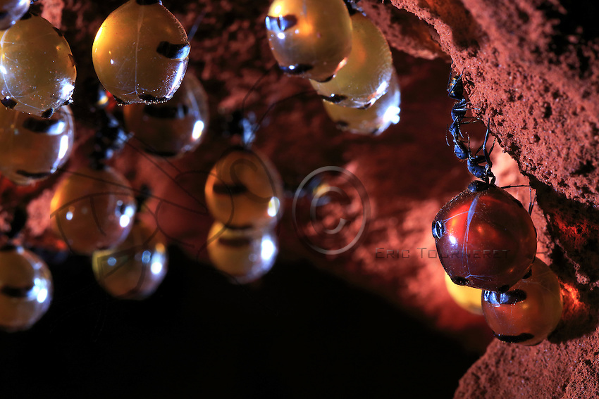 The worker ants clean the honeypots and with their antenna scratch the neck of the replete. At the end of the cleaning, the repletes open their mandibles to provide access to a sort of stopper inside their mouths and a drop of nectar comes out to feed the worker ant.///Les travailleuses, nettoient les pots de miel et à l'aide de leurs antennes grattent le cou de la fourmi réservoir. À la fin du nettoyage, les fourmis réservoirs ouvrent leurs mandibules et donnent l'accès à un bouchon à l'intérieur de leur bouche et une goutte de nectar sort de leur bouche pour nourrir les travailleuses.