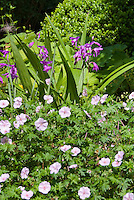 Bletilla striata hardy orchids and geranium in garden use, in flower in June early summer