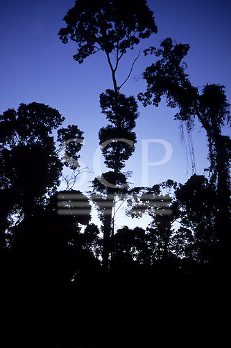 South-west Amazon, Brazil. Rainforest trees in silhouette at nightfall. Brazil nut trees.