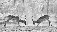 Male impalas battle for breeding rights.