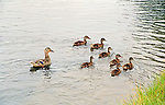mother duck and seven ducklings swim along the shore of a pond searching for food
