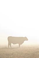 Cattle in Fog.