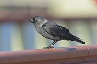 Jackdaw, Nordic race - Corvus monedula monedula