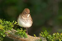 582030006 swainsons thrush songbird catharus ustulatus swainsoni perches on a limb on south padre island cameron county texas