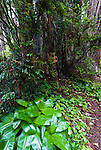 Andrew's Clintonia (Clintonia andrewsiana) growing beneath redwoods, Redwood National Park