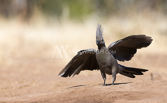 """The grey lourie is more commonly known as the Grey Go-Away Bird due to a call that sounds like the words """"Go Away!"""""""