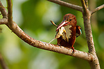 White-throated Kingfisher (Halcyon smyrnensis) with frog prey, Diyasaru Park, Colombo, Sri Lanka