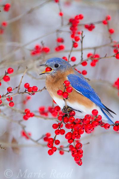 Eastern Bluebird (Sialia sialis) male feeding on winterberry (Ilex sp.) fruit in winter, New York, USA