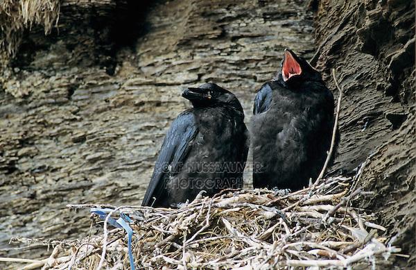 Common Raven, Corvus corax,young in nest, Ekkeroy, Norway, Europe